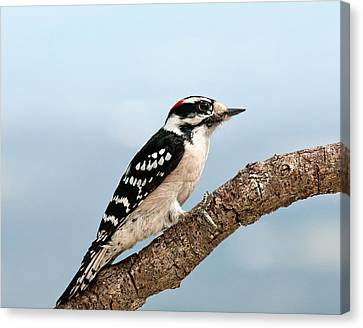 Canvas Print featuring the photograph Downy Woodpecker Spring 2016 1 by Lara Ellis
