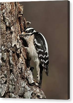 Canvas Print featuring the photograph Downy Woodpecker's Secret Stash by Lara Ellis
