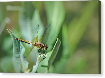 Dragon Fly 1 Canvas Print by Rick Mosher