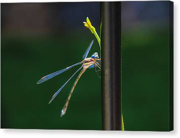 Dragon Fly Canvas Print by Juli Ellen