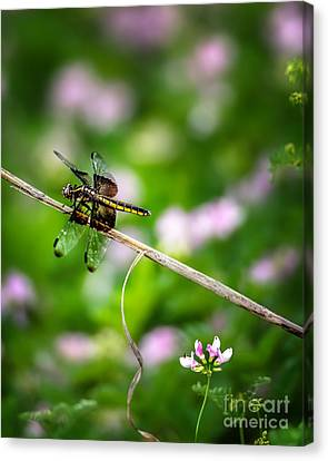 Dragonfly Waiting For A Mate Canvas Print by Tamyra Ayles