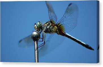 Dragonfly 1 Canvas Print by Maria  Wall