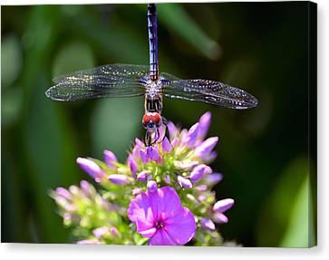 Dragonfly And Phlox Canvas Print