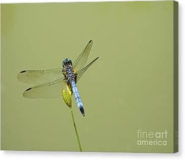 Dragonfly Canvas Print by Andrew Kazmierski