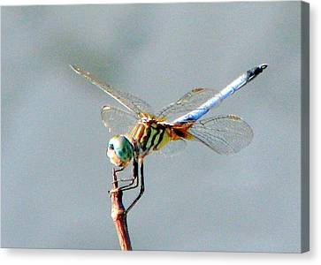 Dragonfly At Rest Canvas Print