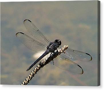 Dragonfly Black Canvas Print by Lisa Stanley