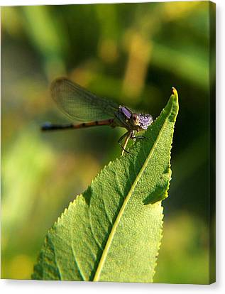 Dragonfly Called Funny Face Canvas Print by Belinda Cox