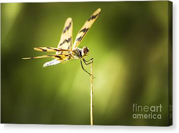 Dragonfly Clutching Fern Blade Canvas Print by Jorgo Photography - Wall Art Gallery