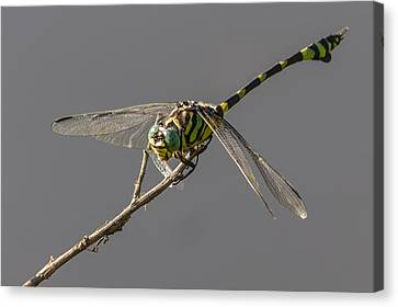 Dragonfly Dinner Canvas Print by Teale Britstra