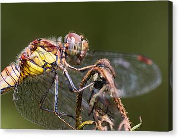 Dragonfly Canvas Print by Ian Hufton