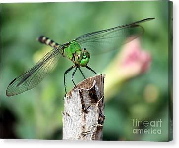 Dragonfly In The Flower Garden Canvas Print by Carol Groenen