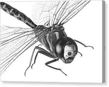 Dragonfly Canvas Print by Jim Hughes