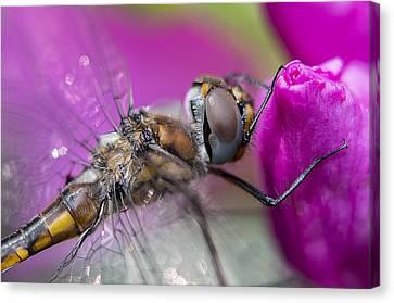 Dragonfly Eyes Canvas Print - Dragonfly Macro by Janet Fikar