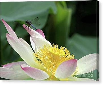 Dragonfly On Lotus Canvas Print by Sabrina L Ryan