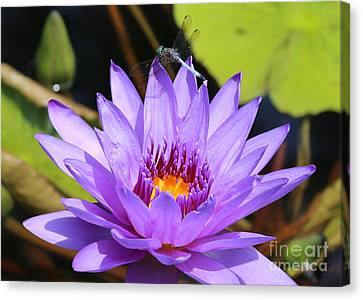 Dragonfly On Water Lily Canvas Print by Carol Groenen