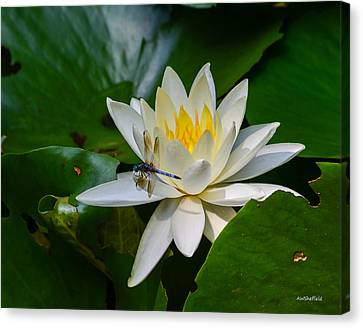 Dragonfly On Waterlily  Canvas Print by Allen Sheffield
