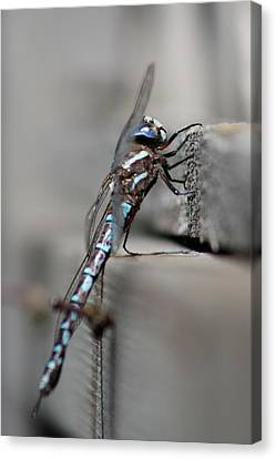 Canvas Print featuring the photograph Dragonfly Pause by Cathie Douglas