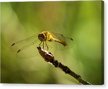 Dragonfly Perched Canvas Print by Jeff Swan