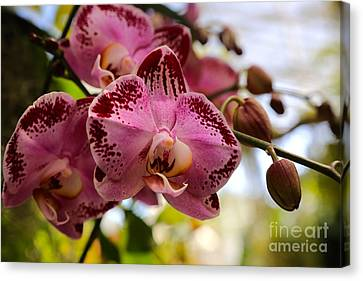 Florida Flowers Canvas Print - Dramatic Pink Orchid by Carol Groenen