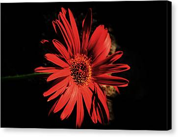 Dramatic Red Daisy Canvas Print by Tina M Wenger
