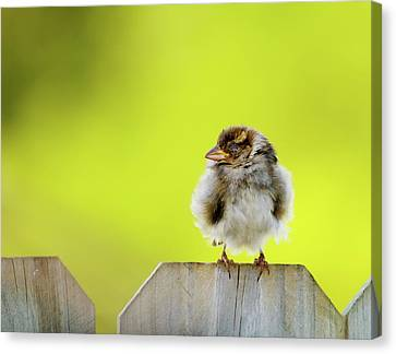 Dream Sparrow Canvas Print by Betty LaRue