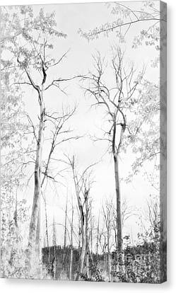 Dreaming Of Aspens- Black And White Canvas Print by Janie Johnson