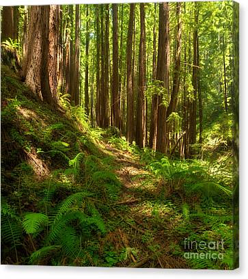 Dreamy California Redwoods Canvas Print by Matt Tilghman