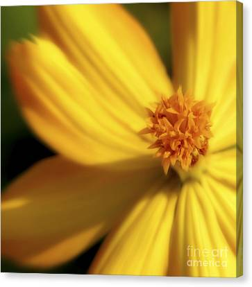 Dreamy Coreopsis Canvas Print by Jeannie Burleson