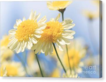 Dreamy Sunlit Marguerite Flowers Against Blue Sky Canvas Print