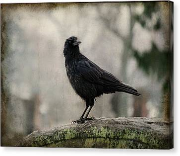Drenched Crow  Canvas Print