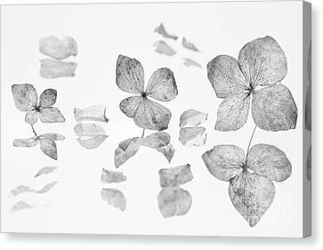 dried Hydrangea flowers Canvas Print by Masako Metz
