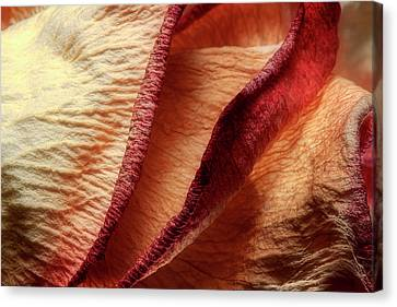 Dried Rose Petals I Canvas Print
