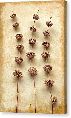 Dried Sage Canvas Print