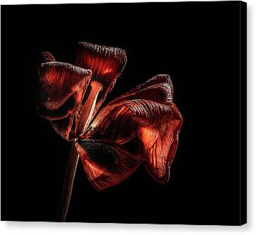 Dried Tulip Blossom Canvas Print by Scott Norris