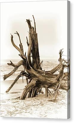 Driftwood On Sullivan's Island Sepia Canvas Print