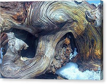 Driftwood Swirls Canvas Print by Todd Breitling