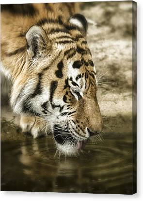 Canvas Print featuring the photograph Drinking Tiger by Chris Boulton