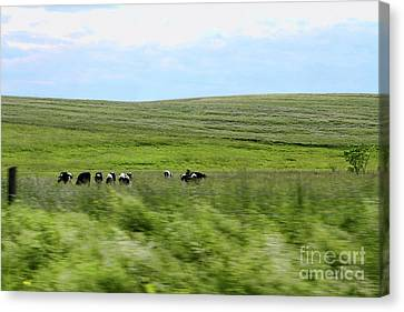 Driveby Shooting No.17 Cows Canvas Print by Christine Segalas