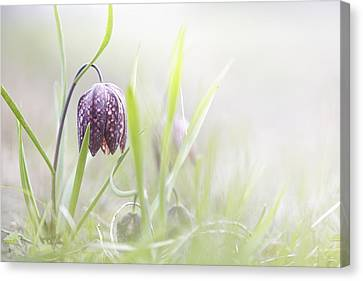 Meleagris Canvas Print - drooping Tulip a meadow springflower by Dirk Ercken