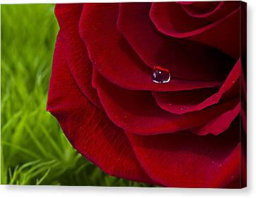 Drop On A Rose Canvas Print by Marlo Horne