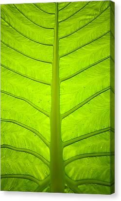 Droplets On Green Leaf Canvas Print by Bill Brennan - Printscapes