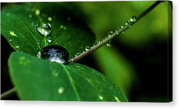 Canvas Print featuring the photograph Droplets On Stem And Leaves by Darcy Michaelchuk