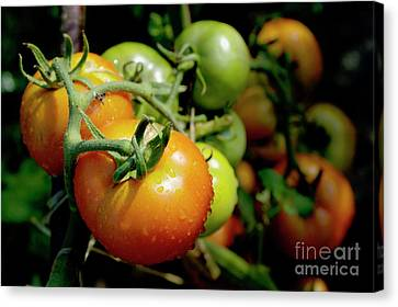 Drops On Immature Red And Green Tomato Canvas Print by Sami Sarkis