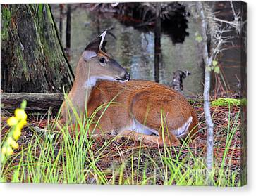 Canvas Print featuring the photograph Drowsy Deer by Al Powell Photography USA