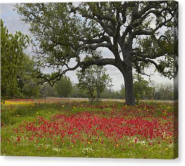 Drummonds Phlox Meadow Near Leming Texas Canvas Print by Tim Fitzharris