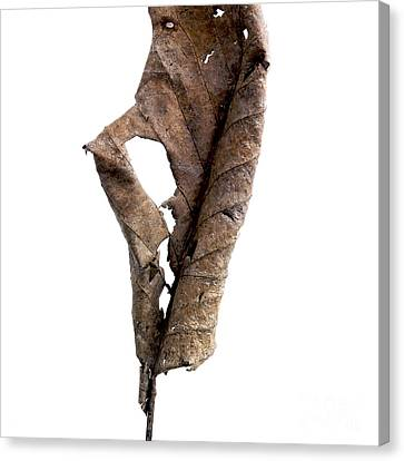 Indoor Still Life Canvas Print - Dry Leaf by Bernard Jaubert