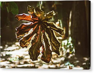 Dry Leaf Collection 3 Canvas Print by Totto Ponce