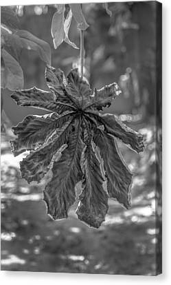 Dry Leaf Collection Bnw Canvas Print by Totto Ponce