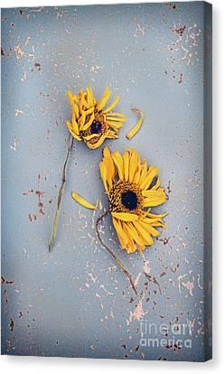 Dry Sunflowers On Blue Canvas Print by Jill Battaglia