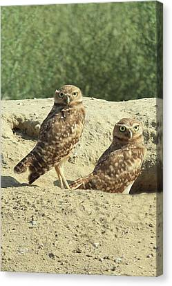 Dual Burrowing Owls, Athene Cunicularia Canvas Print by Renee Sinatra
